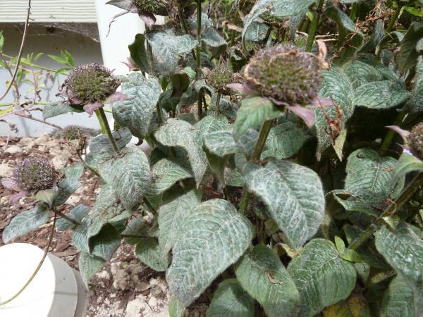 powdery substance on bee balm leaves