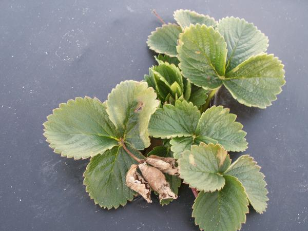 Strawberry leaves with light discolored areas on edge