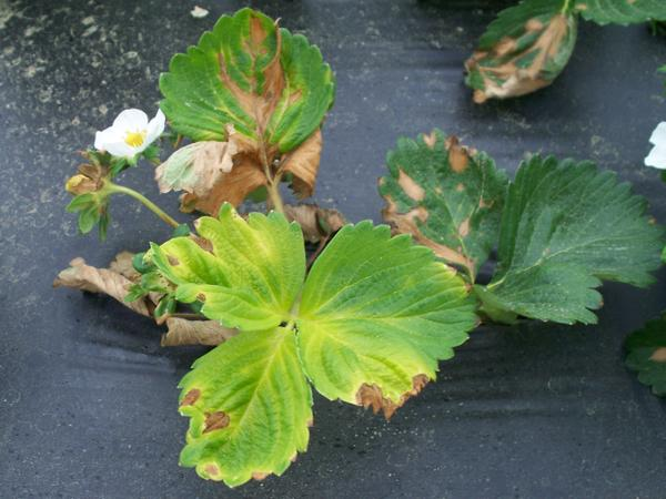 Strawberry plant with yellow leaf and brown spots
