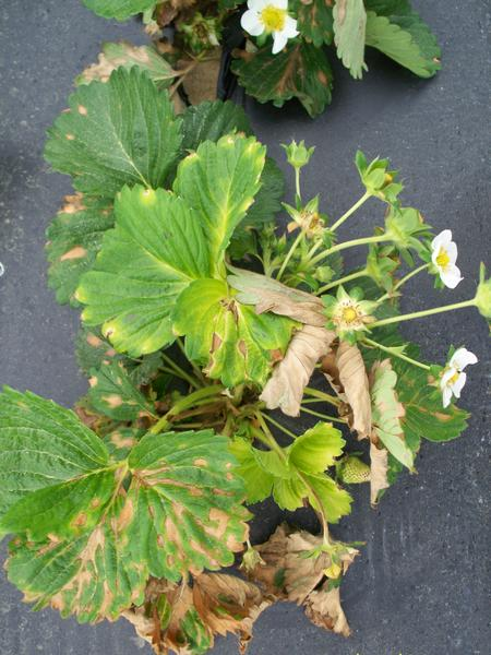 Strawberry plant with dead brown areas on leaf