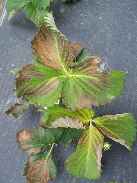 Strawberry leaves with brown edges and yellow midrib