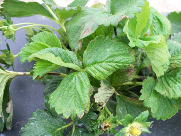 Strawberry plant with dead brown areas on leaf and flower