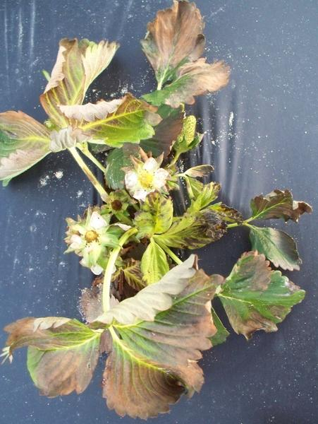 Strawberry leaves with brown dead areas ad burned flowers