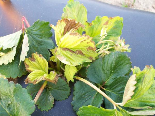 Strawberry plant with dead brown areas on yellow leaves