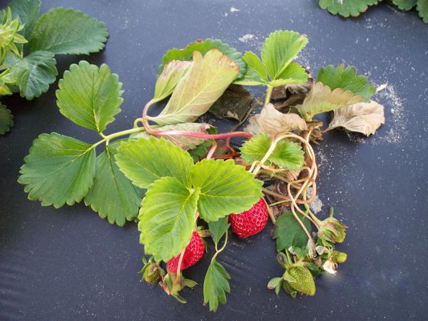 Strawberry plant with dead leaves and petioles.