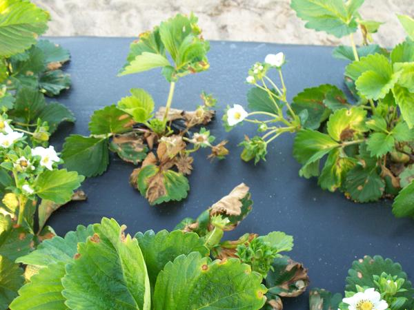 Strawberry plant with damaged brown tissue.