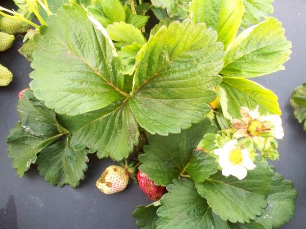 Strawberry plant with leision on fruit and flower