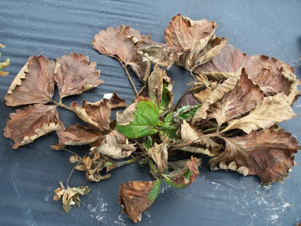 dead strawberry plant with green center.