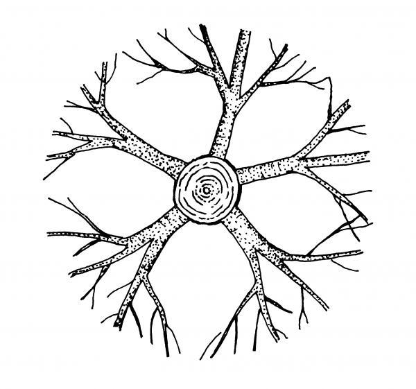 radial attachment scaffold branches