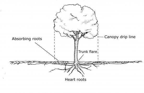 tree roots grow outside canopy