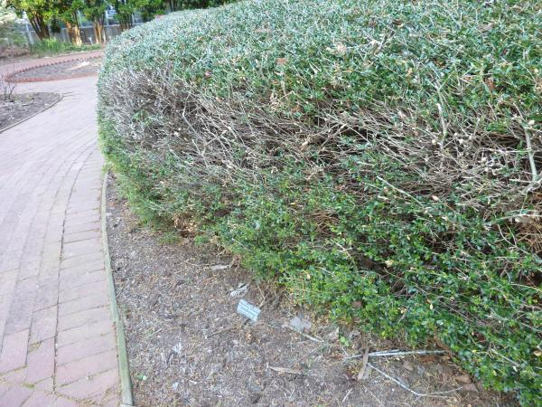 oversheared hedge