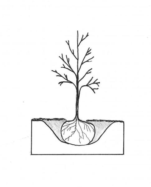 11 woody ornamentals nc state extension publications  diagram of a properly planted tree note that the width of the hole is more than two times the diameter of the root ball with gently sloping sides and the