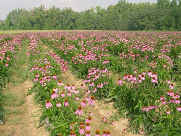 Figure 11. A field of Echinacea purpurea.