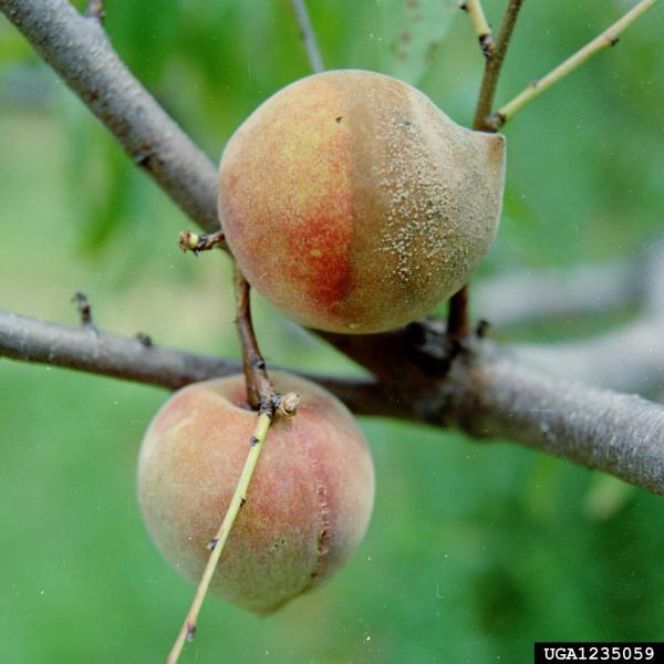brown rot peach