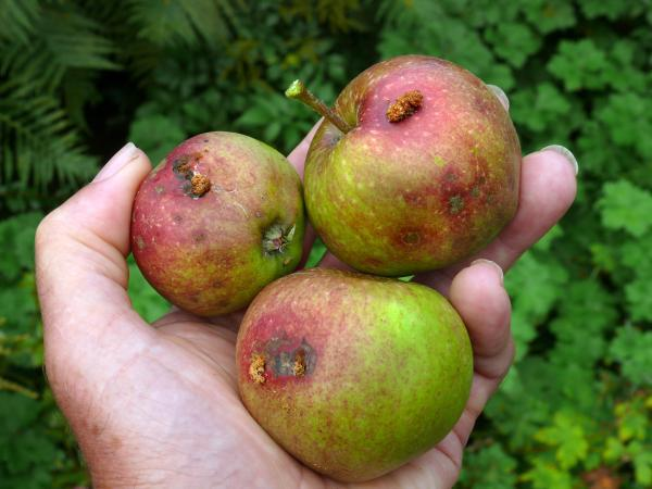codling moth damgae apples