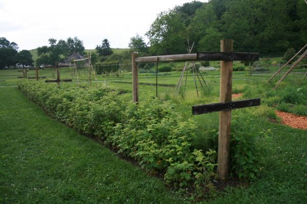 trellis raspberries