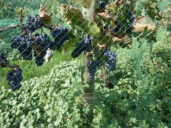 grapes bird netting