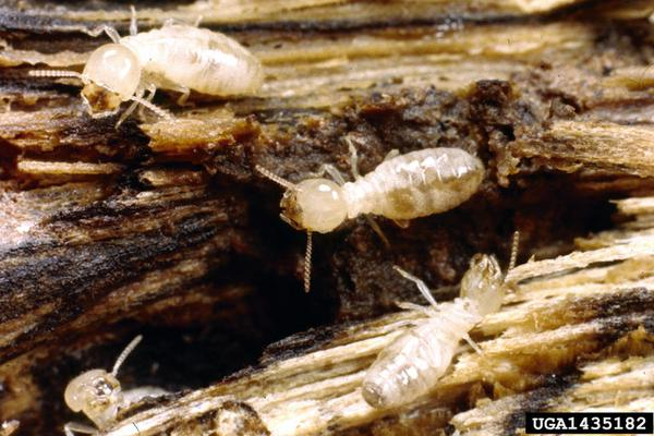 Termites - Biology and Control | NC State Extension Publications