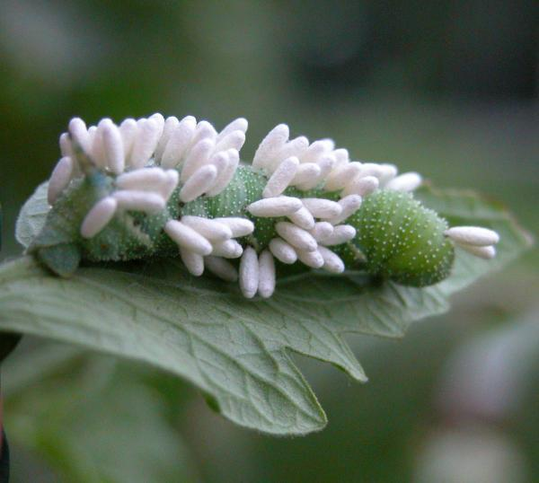 wasp on hornworm