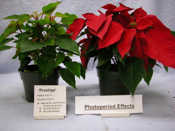 poinsettia photoperiod