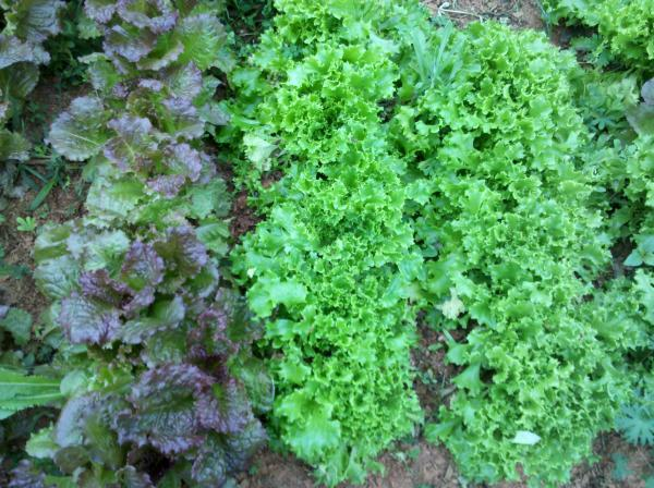 intensive lettuce reduce weeds