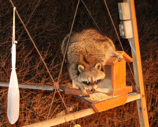 raccoon habitat modification