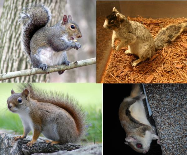 squirrels in North Carolina