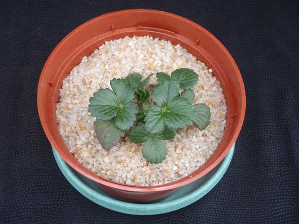 Thumbnail image for Strawberry Phosphorus (P) Deficiency