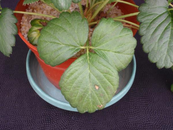 Thumbnail image for Strawberry Magnesium (Mg) Deficiency