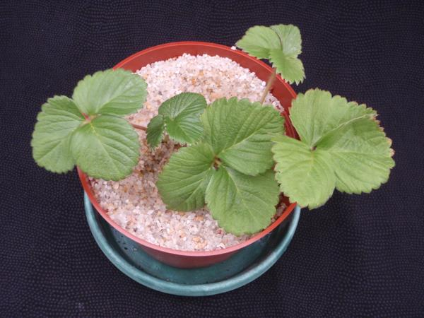 Thumbnail image for Strawberry Nitrogen (N) Deficiency