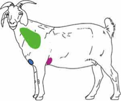 Thumbnail image for Vaccinating Goats Against Enterotoxemia and Tetanus: Is it Necessary?