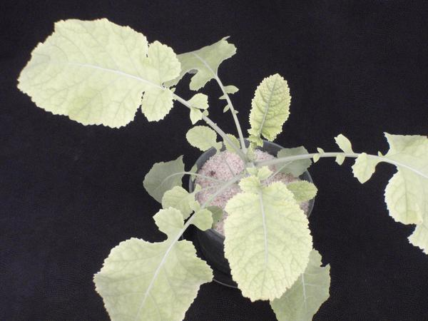 Thumbnail image for Iron (Fe) Deficiency of Carinata