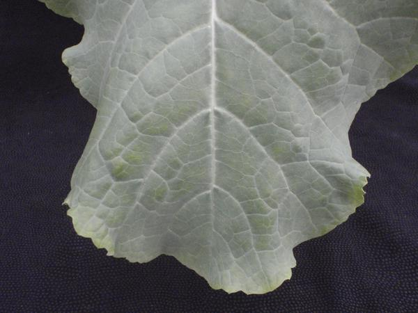 Photo of a leaf with marginal yellowing on lower foliage
