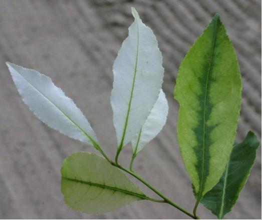 Serviceberry foliage bleached by exposure to clomazone vapor dri