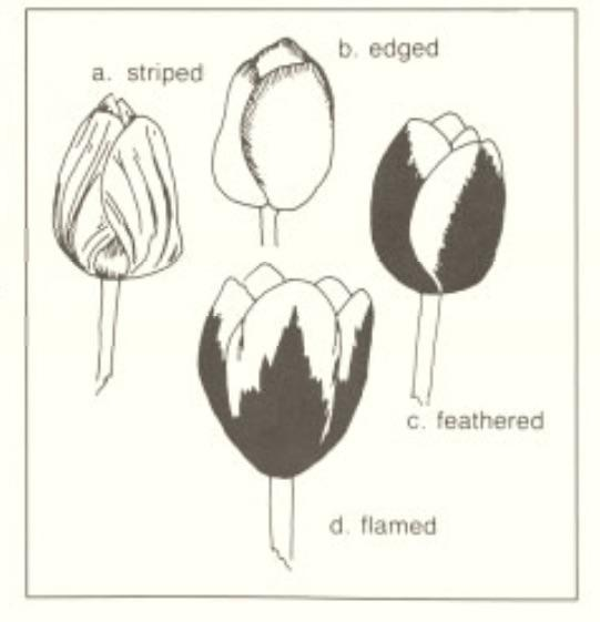 Figure 1. Second color patterns in tulips.