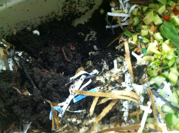 Worms working away to make vermicompost.