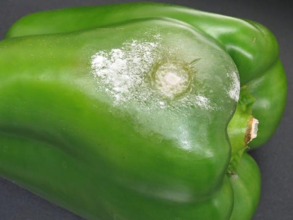 Fruit rot in pepper caused by Phytophthora capsici.