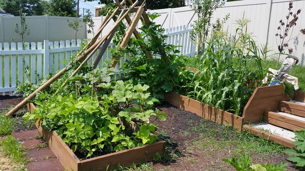 A-frame support for vines bridging raised beds.
