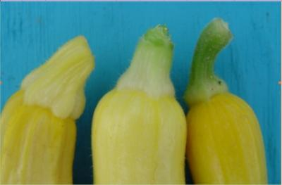 Thumbnail image for Summer Squash Production