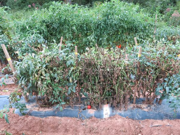 Defoliation of tomato plants caused by bacterial spot.