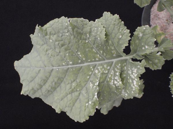 Photo of necrotic regions concentrated along the base of leaf