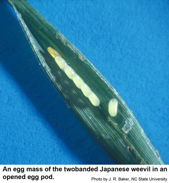 Twobanded Japanese weevils hide their eggs