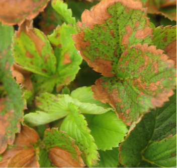 Strawberry foliage with necrotic margins.