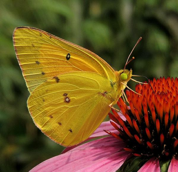 orange sulfer butterfly