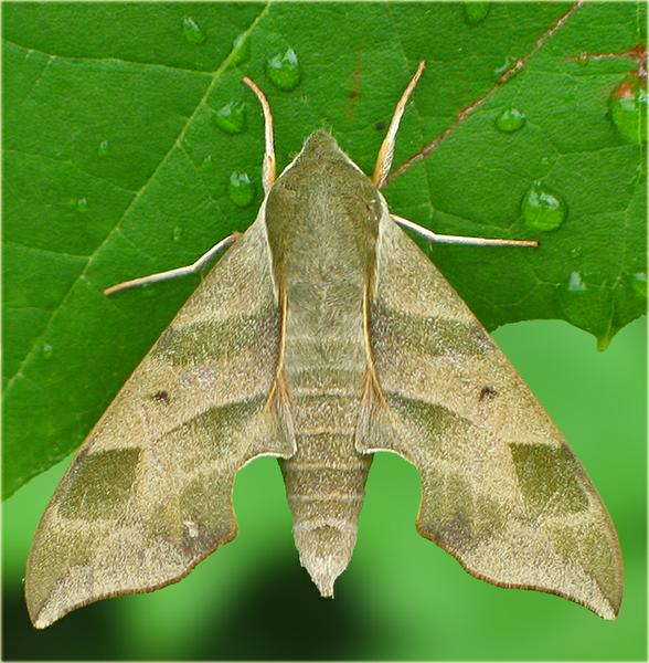 virgina creeper sphinx moth