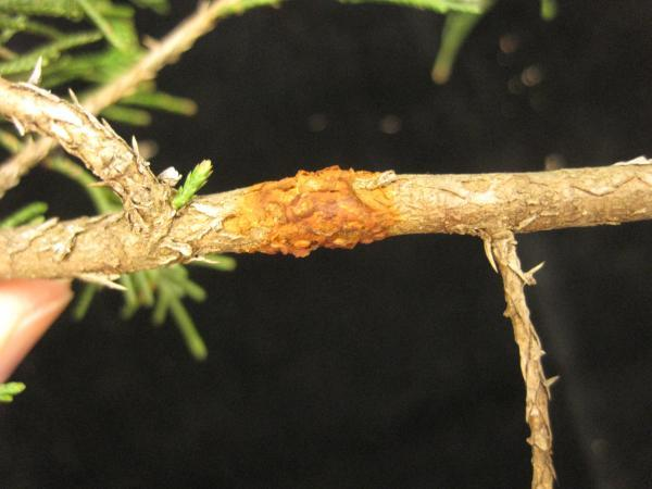 Quince rust on eastern red cedar