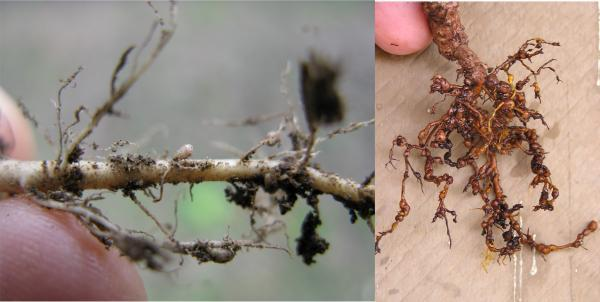nitrogen fixing nodules and nematode swelling