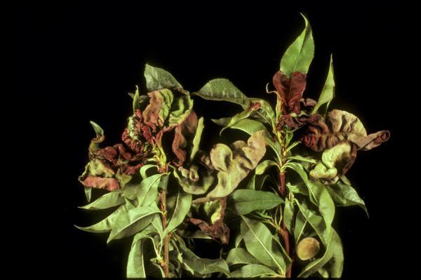 5. Diseases and Disorders | NC State Extension Publications Solidago Canadensis Leaf