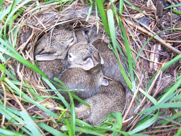 Photo of young Cottontails in ground nest - Day 11.