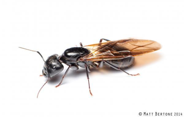 queen carpenter ant